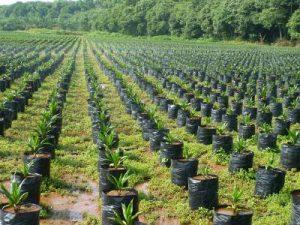 Oil-Palm-Seedling